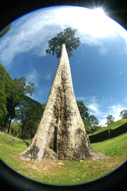大木を見上げる