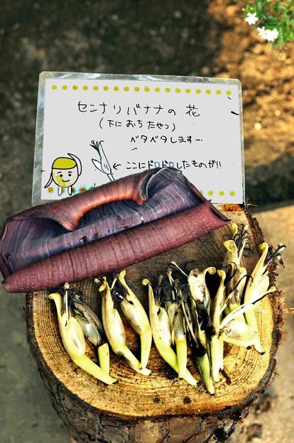 Photos: センナリハ?ナナの花jpg