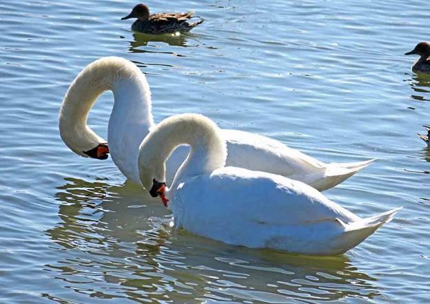 2匹の白鳥