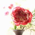 写真: 窓辺の薔薇