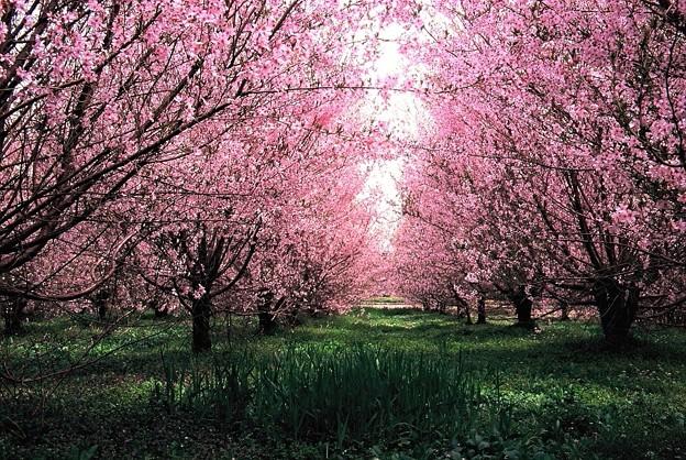 田園の桜並木