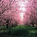 写真: 田園の桜並木