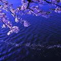 写真: 桜散る頃