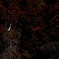 写真: シラサギ
