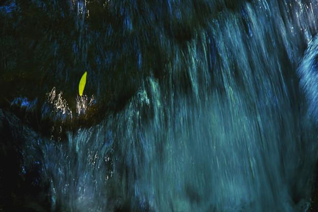 Photos: 黄色い一葉