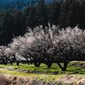 Photos: 田園の梅林