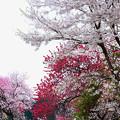 Photos: 花の宴