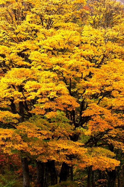 黄葉映える