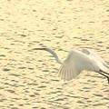 Photos: 白鷺翔る