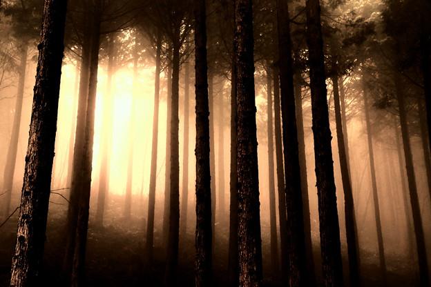 夕陽射す杉林