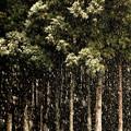 雪降る杉林