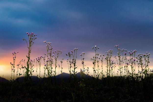 畦道に咲く(夕景)