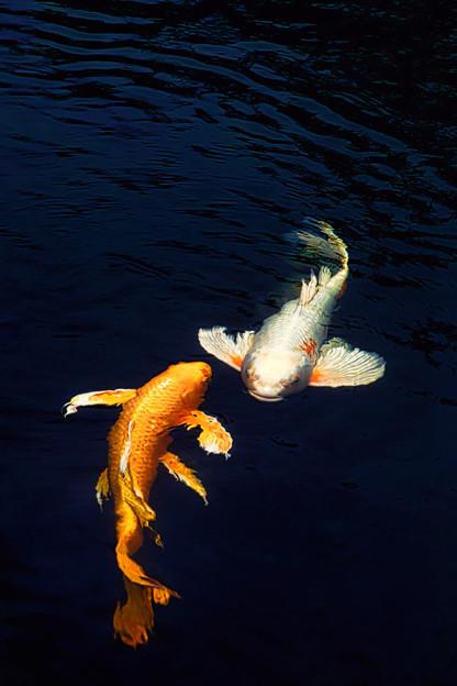 ヒレナガ鯉