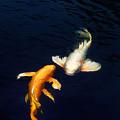 Photos: ヒレナガ鯉