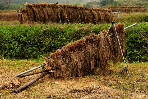 倒れた稲木