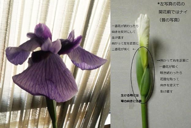 ショウブ(ハナショウブ・紫)