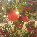 Photos: リンゴ2
