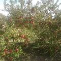 Photos: リンゴ4
