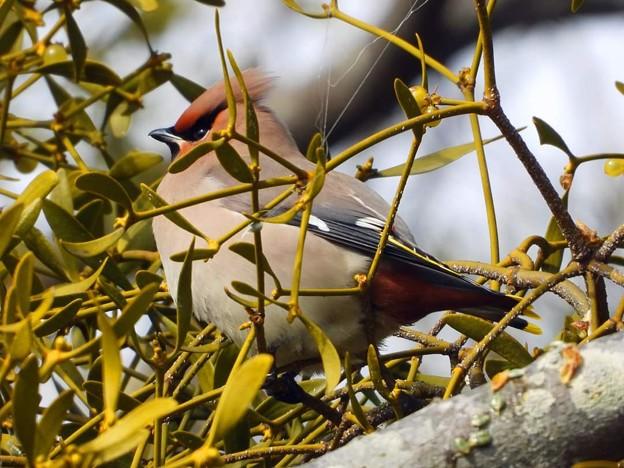 近所の渡り鳥