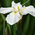 白き花菖蒲。