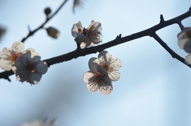 梅の初姿。