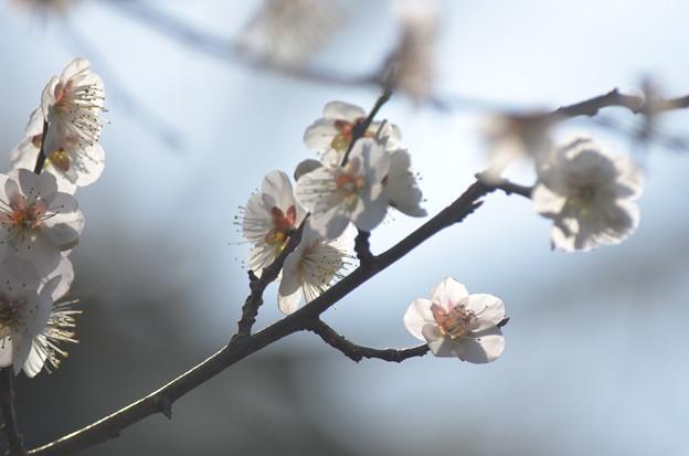 写真: 透けた花弁。