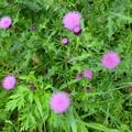 アザミの花。