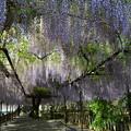 トンネル藤の花。