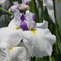 写真: 白に黄色の花菖蒲。
