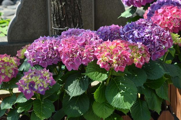 紫陽花の日本列島。
