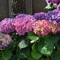 写真: 紫陽花の日本列島。