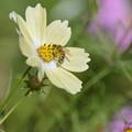 Photos: 蜂さん、蜜に夢中。