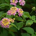 Photos: ランタナの花。