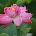 Photos: 赤い蓮の花。