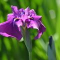 紫色の菖蒲。