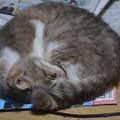 アンモナイト猫。