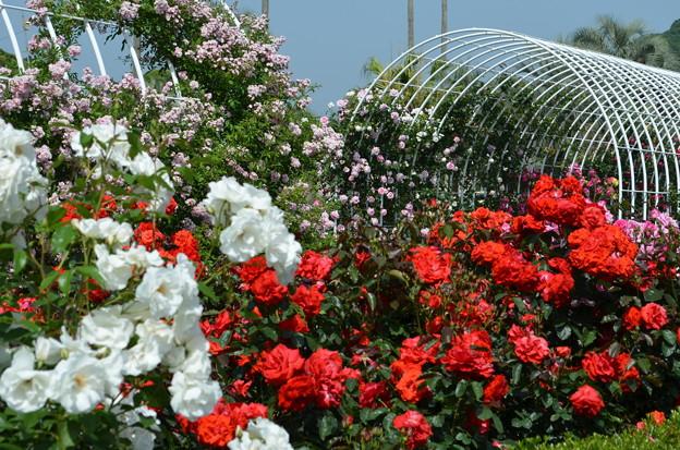 紅白のバラ、共演。