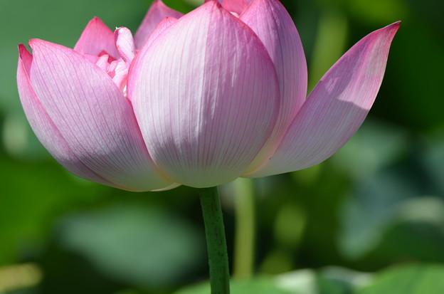 なつかしきハスの花。