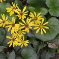 Photos: ツワブキの花。