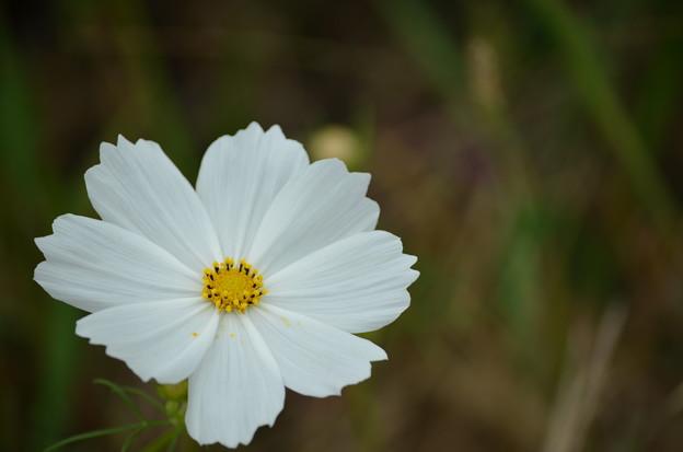Photos: 白いコスモス。