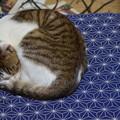 おむすびアンモナイト猫。