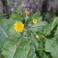 Photos: ノゲシの花です。
