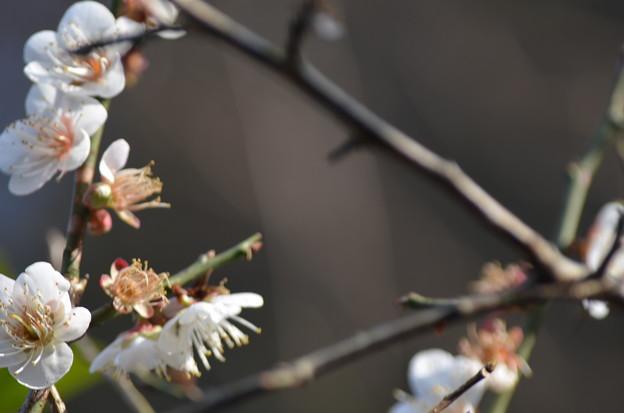 春待ち梅。