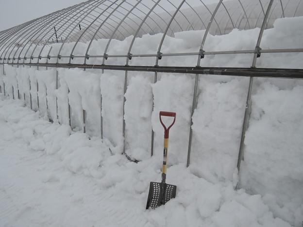 パイプハウスの除雪。
