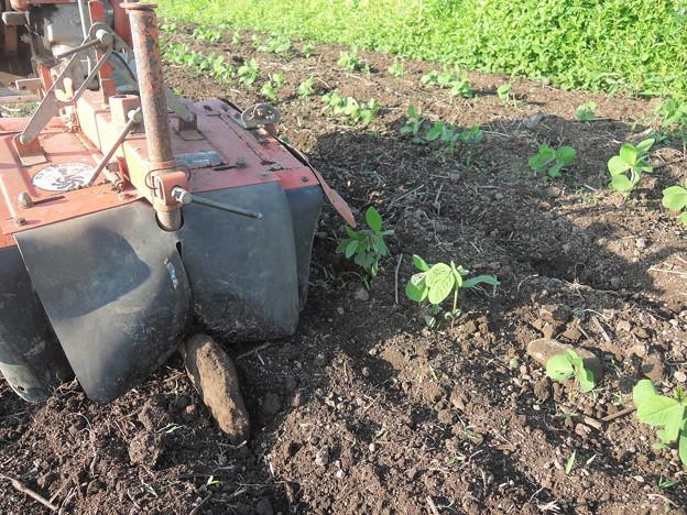 豆畑中耕除草