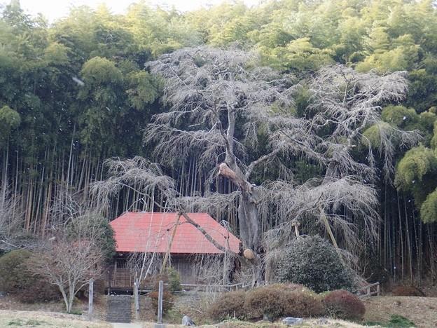 写真: 雪降る雪村庵