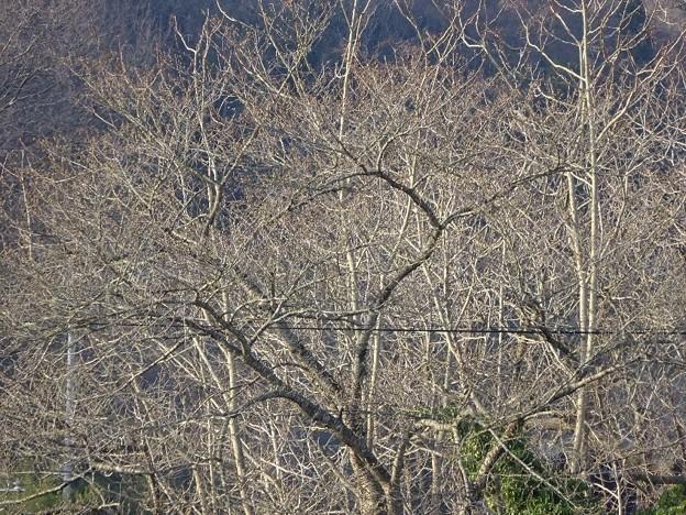 写真: ソメイヨシノの蕾は硬い