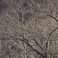 写真: ソメイヨシノの蕾膨らむ