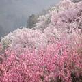 写真: 花見山中腹