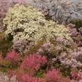 Photos: 花見山のハクモクレン